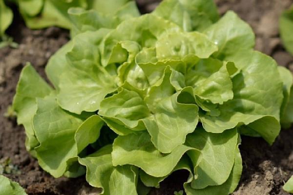 Salata cosima