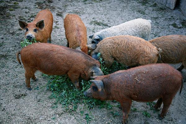 ferma de porci Mangalita
