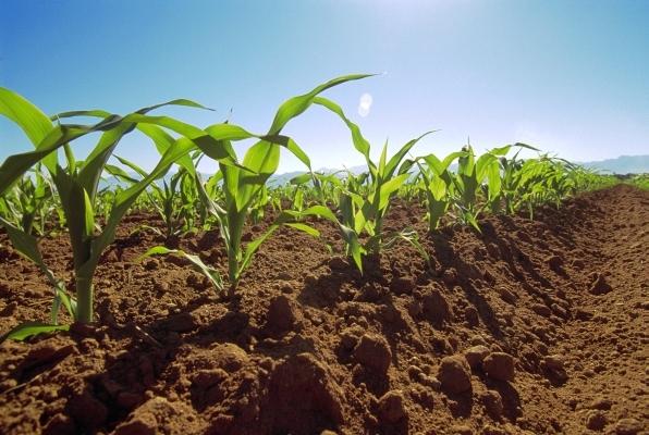 Mexico --- Rows of early-growth sweet corn plants in field. --- Image by © Scott Sinklier/Corbis