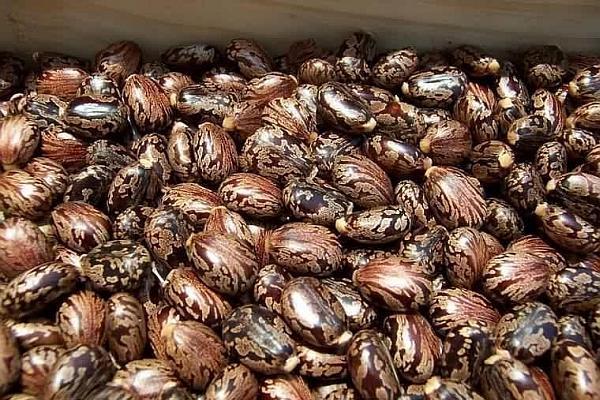 seminte de ricin