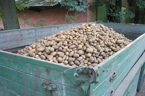 Export cartofi romanesti