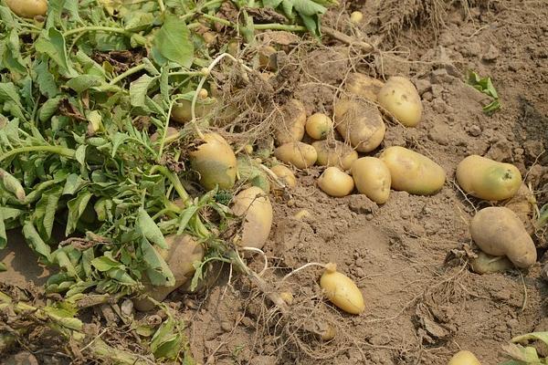 cost infiintare hectar de cartofi