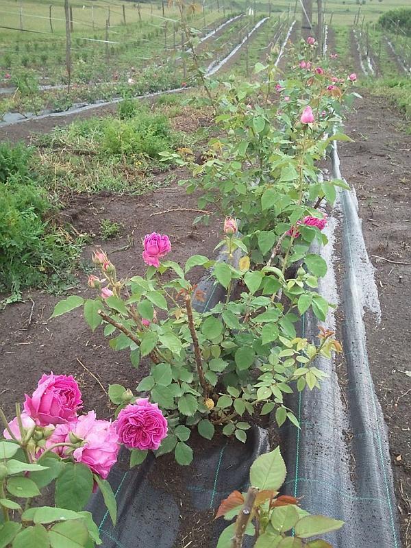 cultura de trandafir