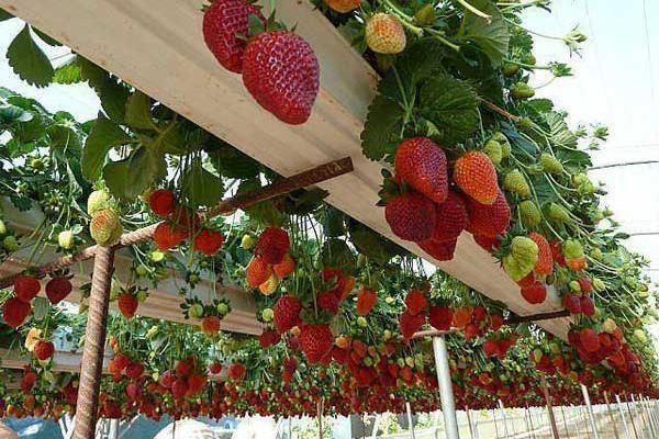 grow-strawberry-plants