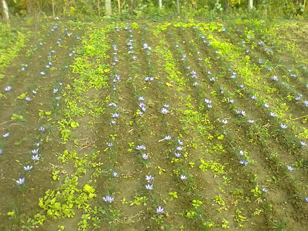 plantantie de sofran in Romania