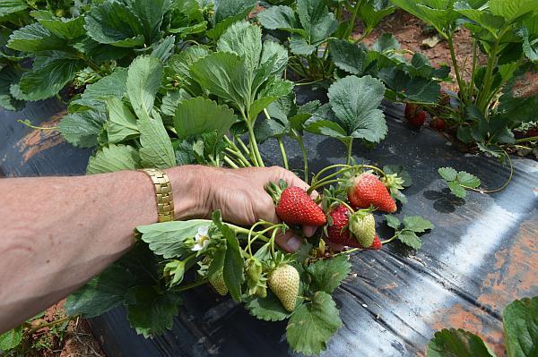 plantatie de capsuni