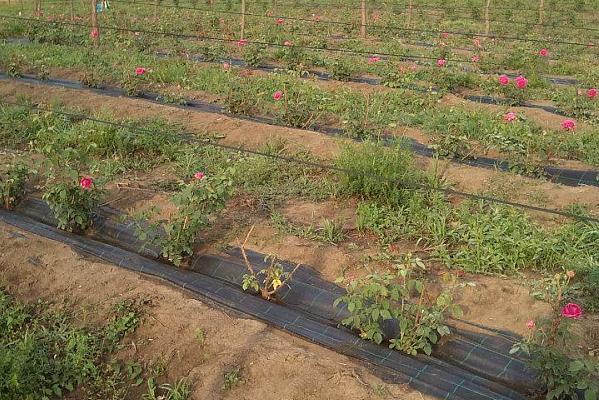 plantatie de trandafir in primul an