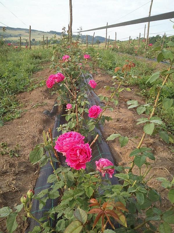 plantatie de trandafiri Mures