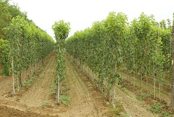 plantatie superintensiva de dud