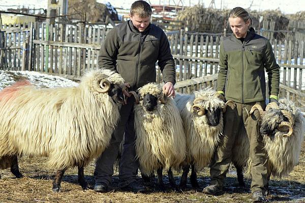 rase romanesti de oi