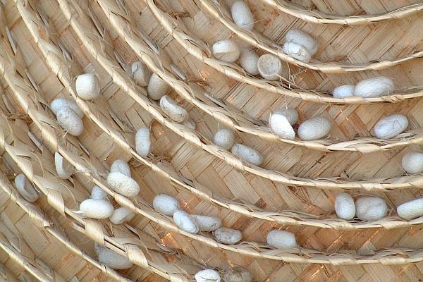 silkworm-cocoons
