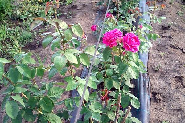 trandafiri pentru dulceata