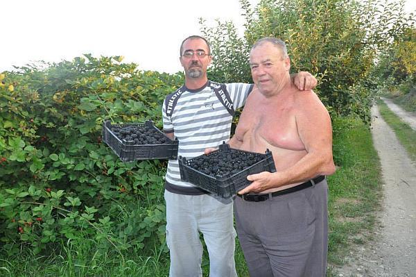 Teodor Toader cultivator de mure