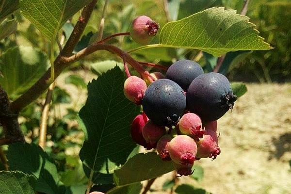 afinul canadian Saskatoon berry in Romania