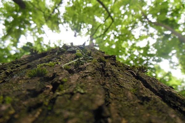 cultura de nuc forestier
