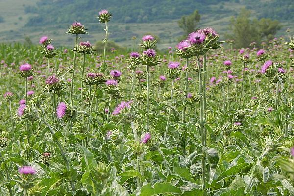 flori de armurariu