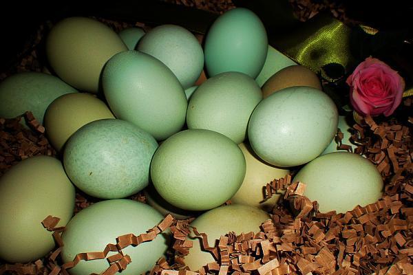 Ouă verzi de găină Araucana