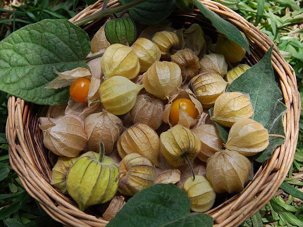 physalis-peruviana-fruits