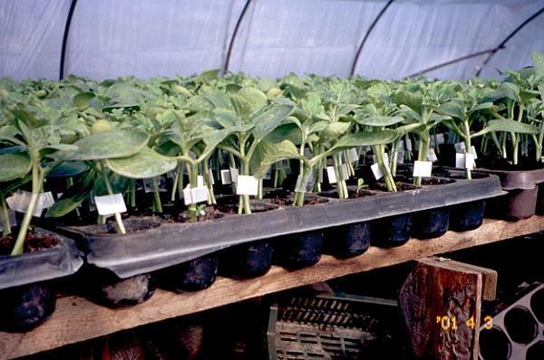 plante altoite de pepene verde