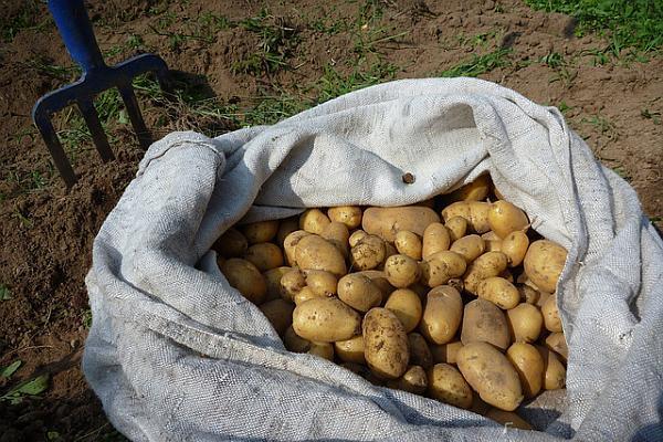 productie de cartofi