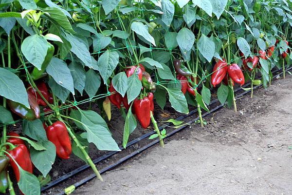 seminte de ardei romanesc de la Agrosel