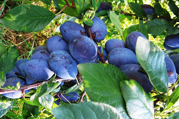 depozitarea prunelor