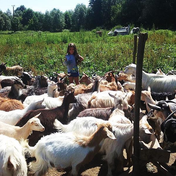 ferma de capre