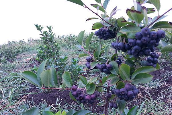 fructe de aronia