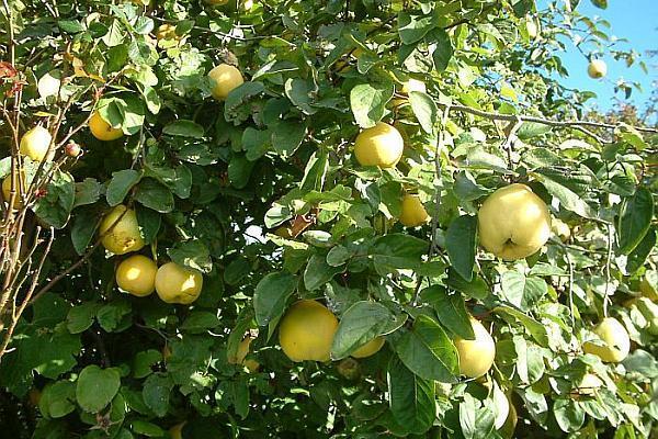 gutui cu fructe