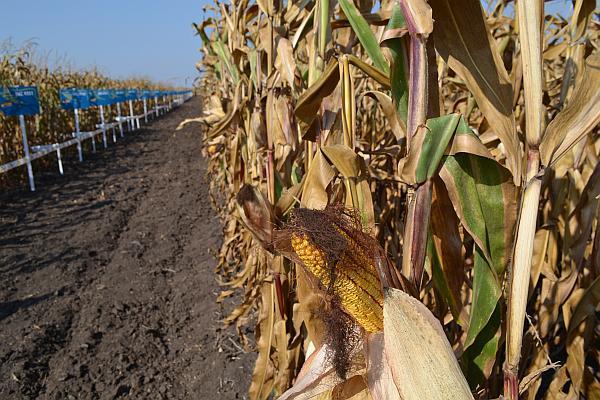 hibrizi noi de porumb dekalb de la Monsanto
