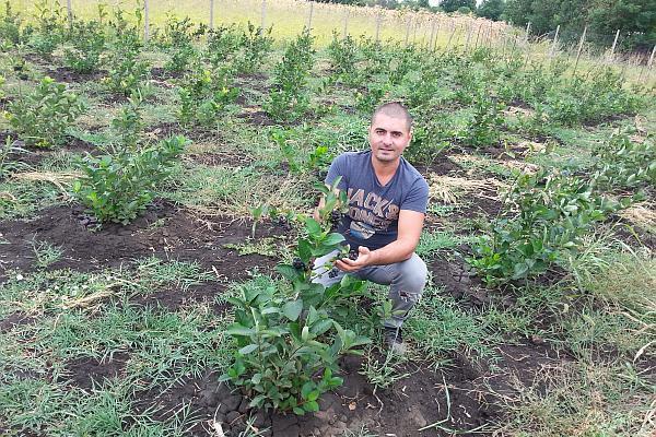 plantatie de scorus negru aronia