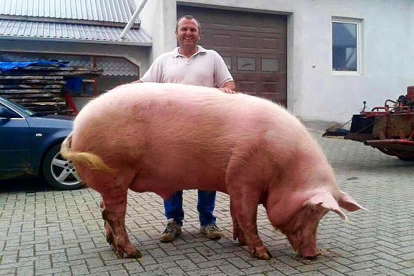 cum să faci un porc pierde în greutate