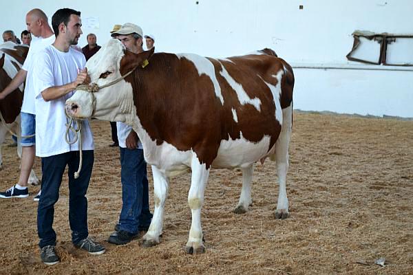 vaca premiata Baltata Romaneasca