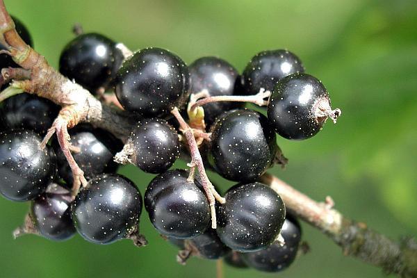 coacaz negru