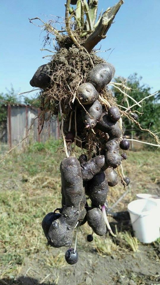 productie de cartof mov la hectar