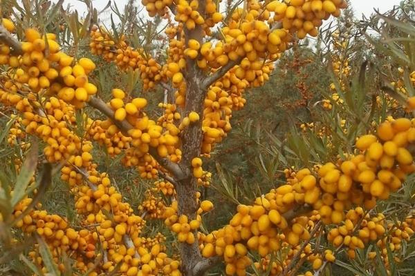 productie de catina la hectar
