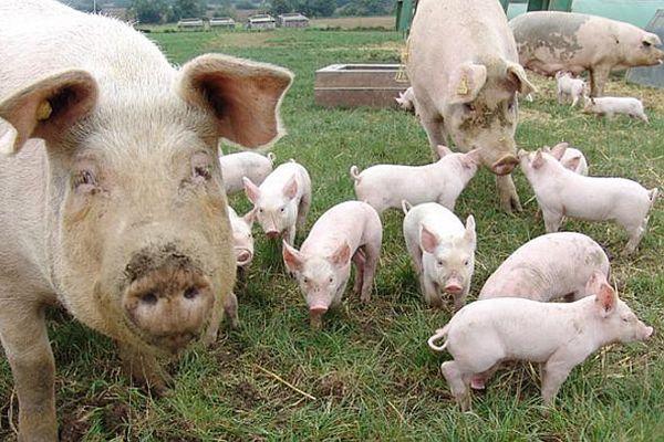 porc viu de vanzare
