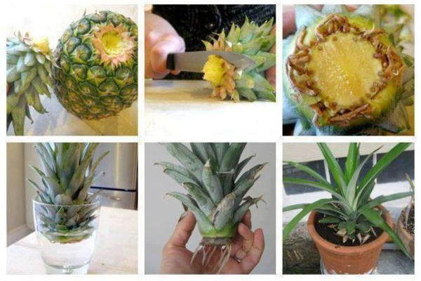 ananas-crestere