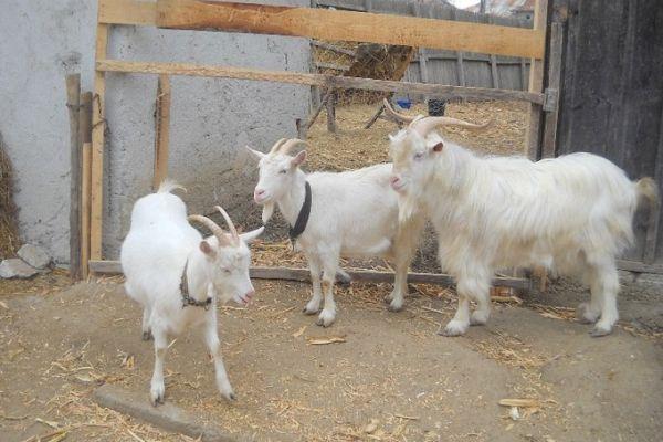 capre Alba de Banat