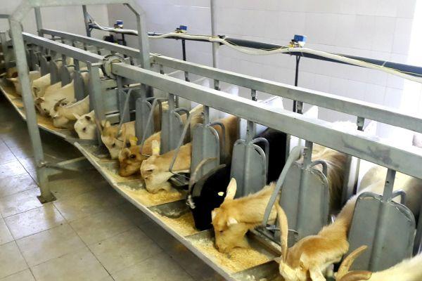 ferma de capre rase romanesti