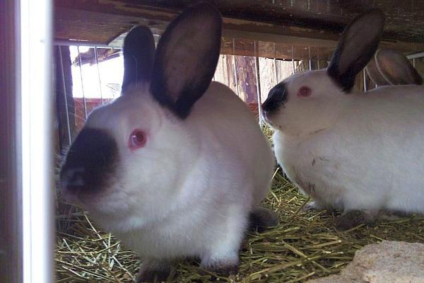 ferma de iepuri Sebes Alba