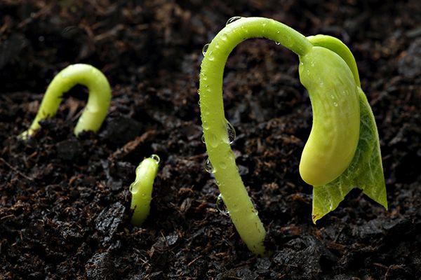 germinare-seminte