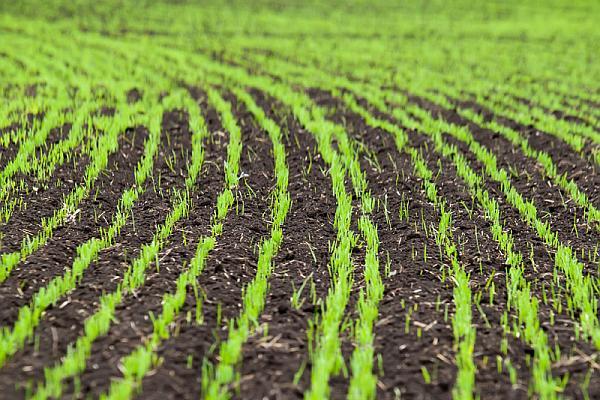 """1,993 milioane hectare însămânțate cu grâu în toamna trecută: """"Nu ..."""