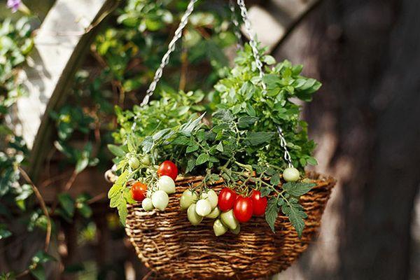 cultivare-rosii-2