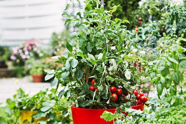 cultivare-rosii-4
