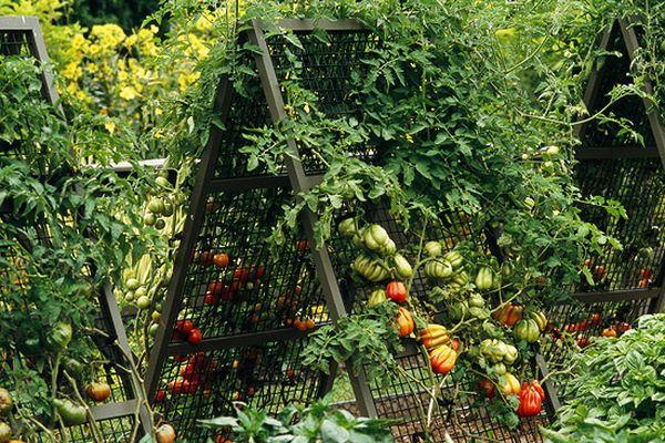 cultivare-rosii-5