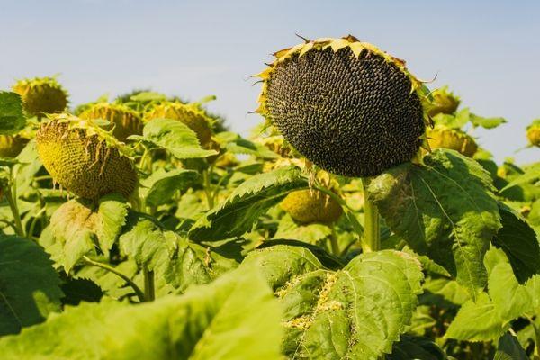 floarea-soarelui hg