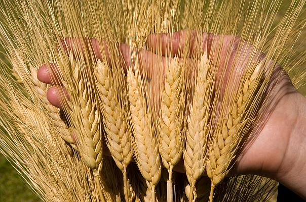 Durum wheat heads, hand with closeup of heads