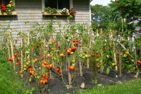 rosii araci