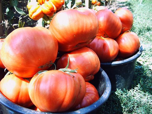 rosii-uriase-seminte-romanesti-de-legume-producator_1